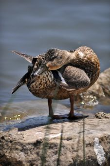 Free Mallard Duckling Royalty Free Stock Photos - 19772678