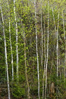 Free Birch Trees, In Spring. Stock Photo - 19773110