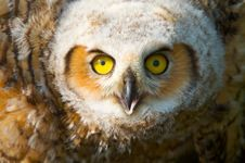 Great Horned Owlet Stock Images