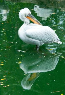 Free Dalmatian Pelican Stock Photos - 19773523