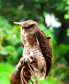 Free Horned Eagle Owl Stock Image - 19773841