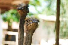 Free Two Ostriches. Stock Photography - 19773922