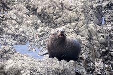 Wild Seal At Ohau Point, New Zealand Stock Photo