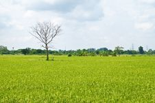 Free Dead Tree Among Green Rice Paddy Field Royalty Free Stock Images - 19777579