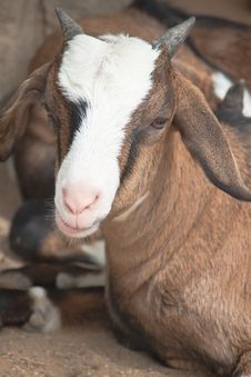 Free Smiling Goat Portrait Royalty Free Stock Images - 19777809