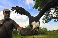 Free Bald Eagle (Haliaeetus Leucocephalus) Stock Photo - 19778640