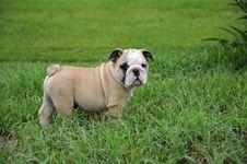Free English Bulldog Puppy2 Royalty Free Stock Images - 19778759
