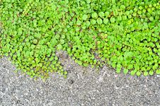 Free Leaves Coverd Wall For Background Stock Photo - 19779130