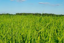 Free Green Grass Against The Blue Sky Royalty Free Stock Photos - 19779578