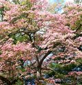 Free Cherry Blossom Tree Royalty Free Stock Photos - 19786358