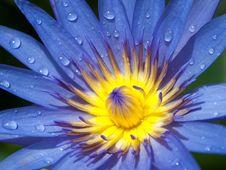 Purple Lotus And Yellow Pollen Stock Image