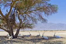 Hai-Bar Yotvata Nature Reserve, Israel Stock Photography