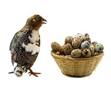 Free Adult Quail And Basket With Its Eggs Stock Photos - 19780863