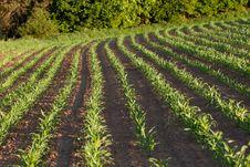 Free Corn Field Stock Photography - 19781082