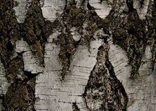 Free Birch Bark Royalty Free Stock Images - 19781779