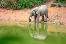 An Asian Elephants Drinking Stock Photos