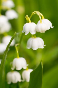 Lily-of-the-valley, Convallaria Stock Images