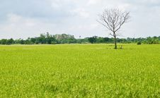 Free Dead Tree Among Green Rice Paddy Field Royalty Free Stock Image - 19784006