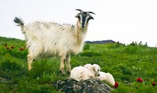Free A Goat And Kids Stock Image - 19784321