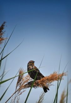 Female Red-Winged Blackbird Royalty Free Stock Photography