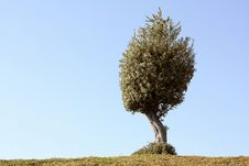 Free Lone Olive Tree Royalty Free Stock Photos - 19784928