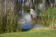 Free Great Blue Heron B Royalty Free Stock Image - 19785636