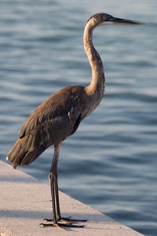 Free Great Blue Heron C Stock Photography - 19785642