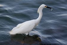 Free Snowy Egret A Royalty Free Stock Image - 19785646