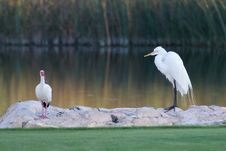 Free Great White Egret And American White Ibis Stock Photography - 19785652