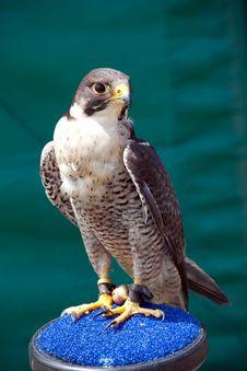 Free Saker Falcon Royalty Free Stock Photos - 19785718