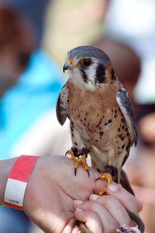Free Juvenile Saker Falcon Royalty Free Stock Images - 19785719