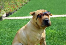 Free Adorable Shar Pei In Sunglasses Royalty Free Stock Image - 19786016