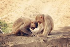 Free Two Monkeys Playing Royalty Free Stock Image - 19786106
