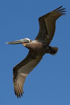 Brown Pelican C Stock Photo