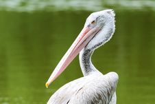 Free Pelican Stock Images - 19788104