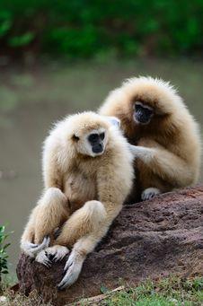 Free White Cheek Gibbon Royalty Free Stock Photo - 19788185