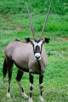 Free Gemsbok Royalty Free Stock Images - 19788259