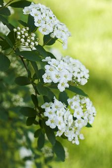 Free Bridal-Wreath Spiraea  (Vanhoutte) Royalty Free Stock Photo - 19788295