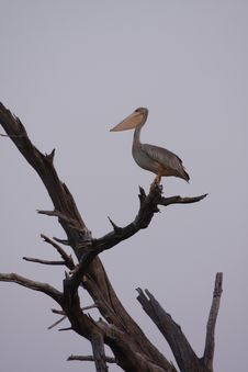 Free Great White Pelican Royalty Free Stock Images - 19789009