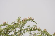 Free Red Billed Quelea Stock Photo - 19789070