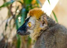 Free Lemur Royalty Free Stock Images - 19789389