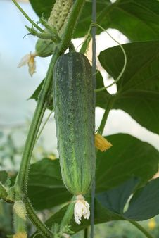 Free Bright Green Cucumber Royalty Free Stock Photography - 19789617