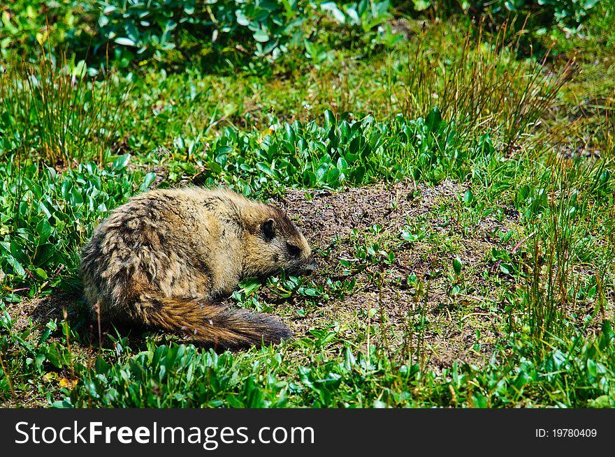 Hoary mountain Marmot