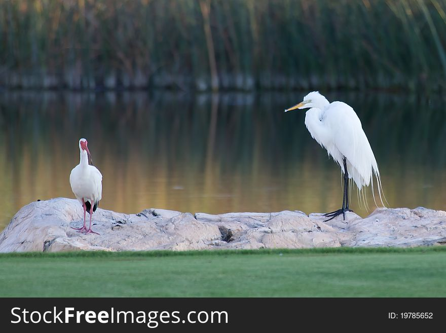 Great White Egret and American White Ibis