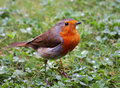 Free Robin Redbreast (Erithacus Rubecula) Stock Images - 19796124
