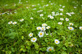 Free Chamomile Flowers On Green Field Royalty Free Stock Photo - 19797655