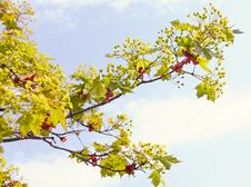 Free Maple Branch With Young Leaves Royalty Free Stock Photos - 19790868