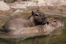 Free Capybara Royalty Free Stock Images - 19791259
