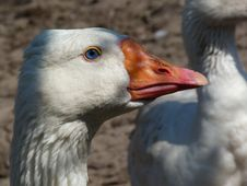 Free Goose Stock Photography - 19792842