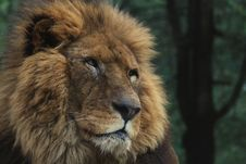 Free Watchful Lion Royalty Free Stock Photography - 19792897